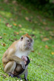 Monkey breastfeed her baby. Female long tailed monkey is breastfeeding her baby Royalty Free Stock Images