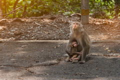Monkey is breastfeeding her baby. royalty free stock photography