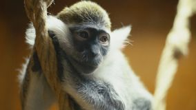Monkey breed Coats. Cat breed monkey sitting on a rope stock video