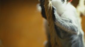 Monkey breed Coats. Cat breed monkey sitting on a rope stock video footage