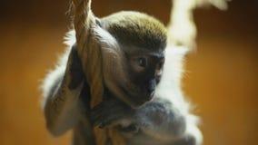Monkey breed coats. Cat breed monkey sitting on a rope stock footage