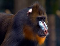 Monkey with bright colors. A sharp looking monkey stock photos