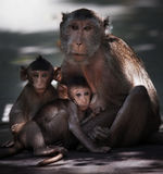 Monkey brother and milk from mother breast Royalty Free Stock Images