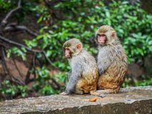 Monkey Brothers Royalty Free Stock Photos