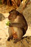 Monkey. Brown monkey sitting on the rock while eating green apple at padang-padang beach bali Stock Photos