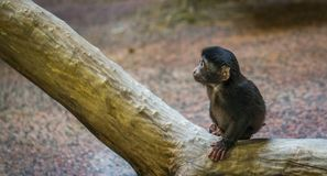 Monkey on Brown Tree Branch Stock Photos