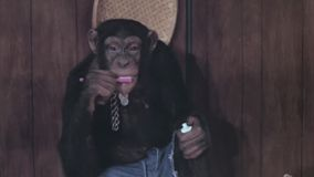 Monkey brushing his teeth stock video footage
