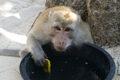 Monkey with a bucket. Stock Photos
