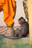 Monkey in the Buddhist temple Royalty Free Stock Photos