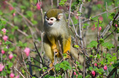 Monkey in the bush Royalty Free Stock Photos