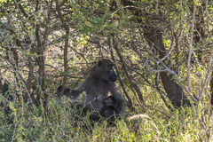 Monkey in the bush of Kruger Park. South Africa Stock Images