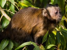 Monkey in bush. Outdoors at Denver zoo, USA stock photography