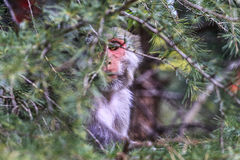 Monkey business � Dharamshala. Royalty Free Stock Image
