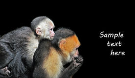 Monkey business. White-faced Capuchin (Cebus capucinus) Monkeys in the Wild Royalty Free Stock Image