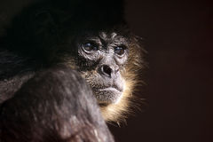 Monkey Business. Closeup of a Spider Monkey against a dark background Royalty Free Stock Image