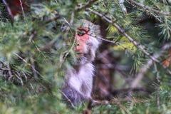 Monkey business – Dharamshala. Royalty Free Stock Image