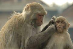 Monkey Business in Kathmandu Stock Image