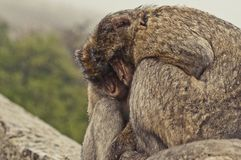 Monkey business. Photo taken in Gibraltar in a rainy day Royalty Free Stock Images