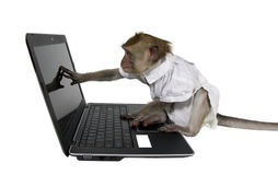 A monkey in a business suit sitting at a laptop Royalty Free Stock Photos