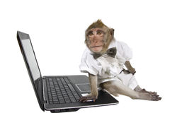 A monkey in a business suit sitting at a laptop. A Javanese macaque in a business suit sitting at a laptop Royalty Free Stock Photo