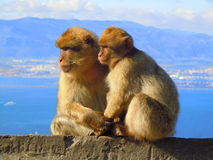 Two monkeys sitting on wall holding hands Royalty Free Stock Photography