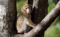 Baby Barbary Macaque Royalty Free Stock Photos
