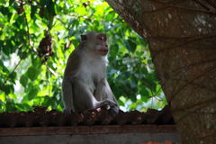 Monkey on Cabin Roof Royalty Free Stock Photo