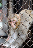 Monkey in the cage Royalty Free Stock Photo