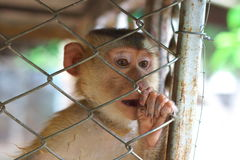 Monkey in cage Royalty Free Stock Images