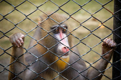Monkey in cage Stock Photo