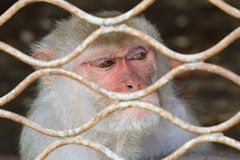 A monkey in a cage Royalty Free Stock Photos