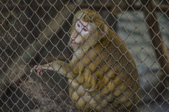 Monkey in Cage Royalty Free Stock Photography