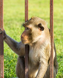 Monkey  in the cage Royalty Free Stock Photos