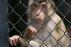 Monkey in the cage. Sad heartbreaking alone monkey in the cage stock photos
