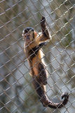 Monkey in the cage Royalty Free Stock Photography