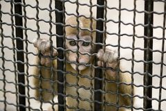 Monkey in cage. A monkey is kept in cage, homeless and hopeless Stock Image
