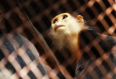 Monkey in a cage. Close up despair monkey in a cage at zoo Royalty Free Stock Photography