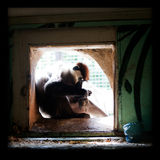 Monkey in cage eating a bird Royalty Free Stock Images
