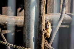 Monkey in the cage, eyes are sad stock image