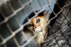 Monkey in the cage, eyes are sad. Lack of freedom Royalty Free Stock Image