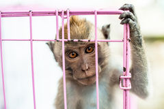 Monkey in a cage in Java, Indonesia Royalty Free Stock Photo