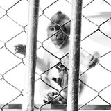 Monkey in a cage Royalty Free Stock Photo