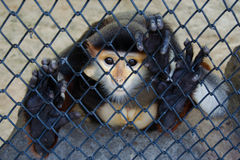 Monkey in cage Stock Photography