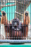 Monkey in the cage Royalty Free Stock Images