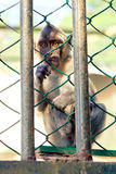 Monkey in a cage Royalty Free Stock Photography