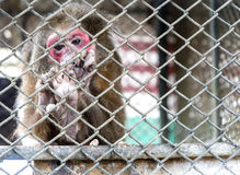 Monkey in cage Royalty Free Stock Photos