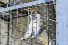 Monkey in a cage at the zoo. Monkey in a cage at the zoo Royalty Free Stock Photos
