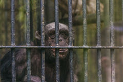 Monkey in a cage at the zoo. Monkey in a cage at the zoo Stock Image