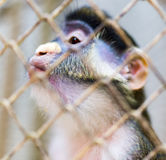 Monkey in a cage in a zoo Royalty Free Stock Image
