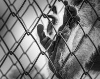 Monkey in cage of zoo Royalty Free Stock Photo